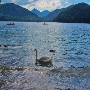 Alpensee schwan