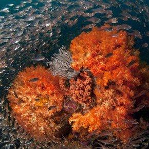 Il cuore dell'oceano, piccoli pesci vetro danzano intorno ad alcionari arancioni. La loro strategia é : inseme si è più sicuri