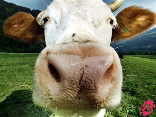 Non sapendo scegliere tra Ligabue cantante, Ligabue pittore, o Cimabue, tagliamo la testa al toro e mettiamo il bue