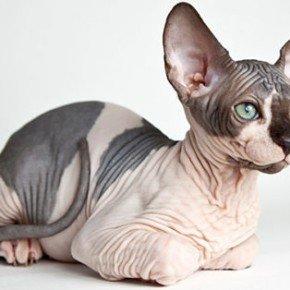 sphynx-cat-gatto-senza-pelo-razza