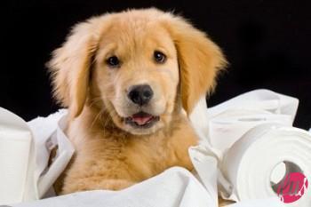 f1233-10741411-soffici-golden-retriever-cucciolo-cane-casa-addestrato-con-carta-igienica