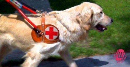 Labrador-Retriever-cane-guida
