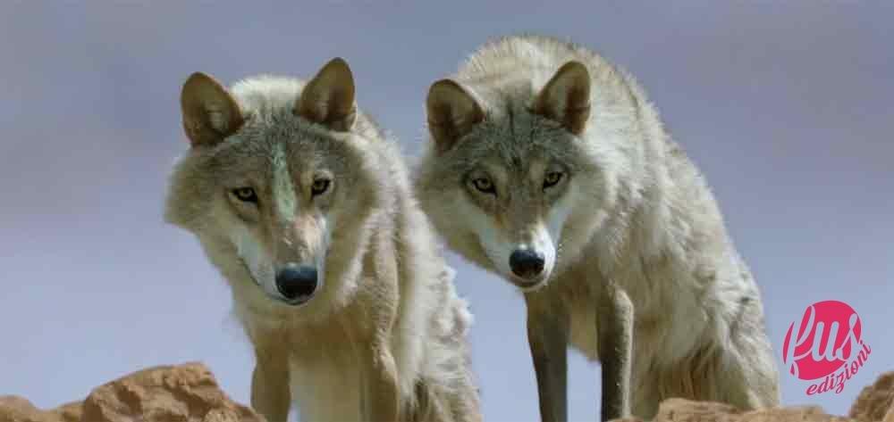 Lultimo lupo: uomo e natura contro u2014 facciunsalto.it