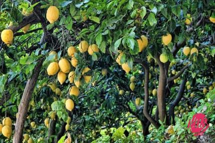 lemon-852244_640