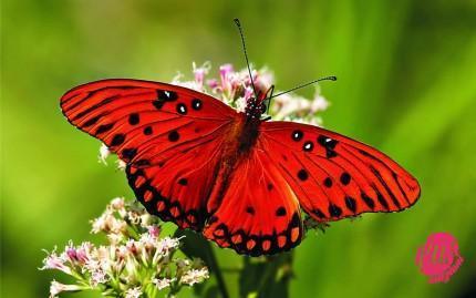 farfalle-1