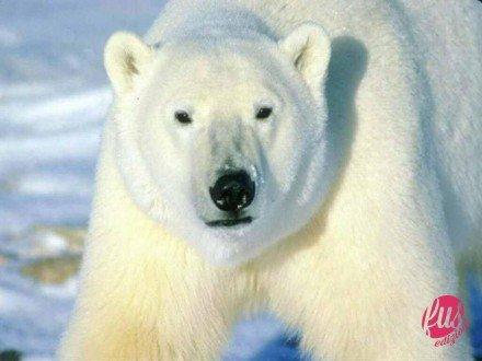 orso-bianco