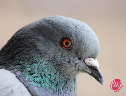 A FERAL PIGEON ('Columba livia') in Madrid (Spain).