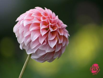 Pink_Dahlia_flower_photo_3689063119_55a9b624bd_o
