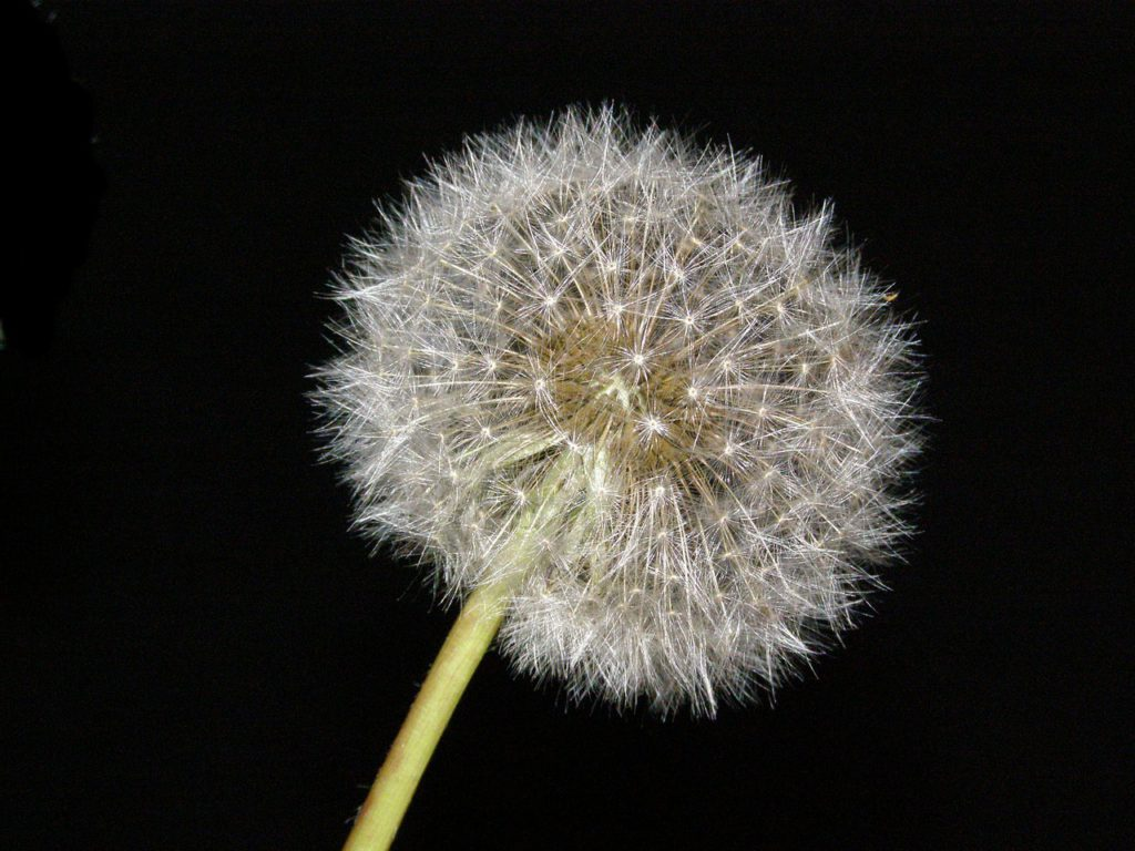 dandelion-626389_1280