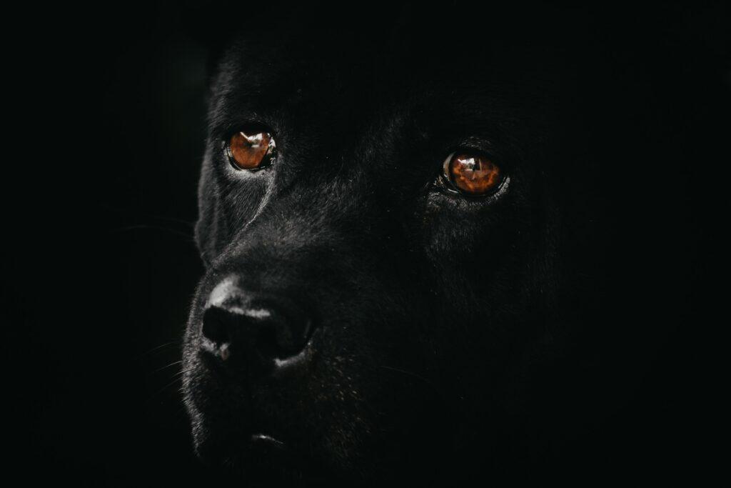 dog-Autore innokurnia